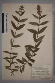 Stachys palustris herbarium specimen from Worcester Park, VC17 Surrey in 1915 by Mr Charles Edward Britton.