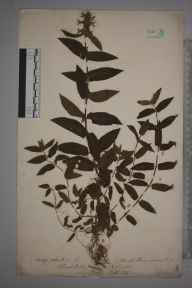 Stachys palustris herbarium specimen from Bath, VC6 North Somerset in 1893.