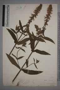 Stachys palustris herbarium specimen from East Budleigh, VC3 South Devon in 1930 by Mr Isaac A Helsby.