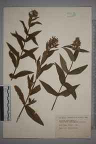 Stachys palustris herbarium specimen from Keen Edge Ferry, VC22 Berkshire in 1923 by Robert Russell Hutchinson.