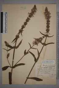 Stachys palustris herbarium specimen from Horton, VC24 Buckinghamshire in 1900 by Charles Smith Nicholson.