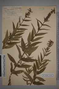 Stachys palustris herbarium specimen from Dorchester, VC9 Dorset by Charles Smith Nicholson.
