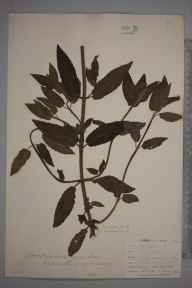 Stachys sylvatica x palustris = S. x ambigua herbarium specimen from Loe Pool, VC1 West Cornwall in 1899 by Mr Allan Octavian Hume.