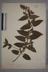 Stachys sylvatica x palustris = S. x ambigua herbarium specimen from Penryn, reservoir, VC1 West Cornwall in 1899 by Mr Allan Octavian Hume.