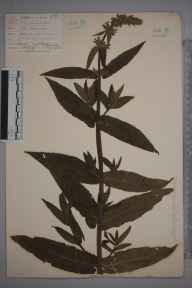 Stachys sylvatica x palustris = S. x ambigua herbarium specimen from Stone Marshes, VC16 West Kent in 1902 by William Henry Griffin.