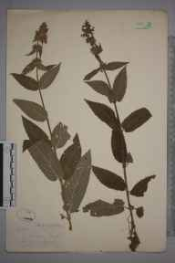 Stachys sylvatica x palustris = S. x ambigua herbarium specimen from Hayley, VC29 Cambridgeshire in 1878 by Mr Frederick Townsend.