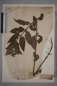 Stachys sylvatica x palustris = S. x ambigua herbarium specimen from Wick River, VC109 Caithness in 1886 by Rev William Richardson Linton.