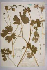 Aquilegia vulgaris herbarium specimen from Addington, VC17 Surrey in 1880 by Mr Henry Tuke Mennell.