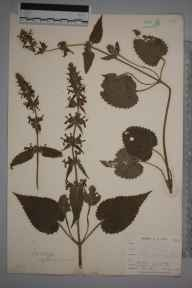 Stachys sylvatica herbarium specimen from Niton, VC10 Isle of Wight in 1898 by Mr Allan Octavian Hume.