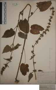 Stachys sylvatica herbarium specimen from Lewes, VC14 East Sussex in 1845 by Joseph Woods.
