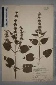 Stachys sylvatica herbarium specimen from Joydens Wood, VC16 West Kent in 1938 by Rev. Philip Henry Cooke.