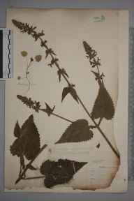 Stachys sylvatica herbarium specimen from Cornwall by Mr Allan Octavian Hume.
