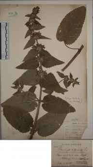 Stachys alpina herbarium specimen from North Nibley, VC34 West Gloucestershire in 1900 by Mr James Walter White.