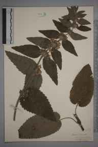 Stachys alpina herbarium specimen from Wotton-under-Edge, VC34 West Gloucestershire in 1923 by Mr James Walter White.