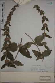 Stachys alpina herbarium specimen from Clifton, VC34 West Gloucestershire in 1898.