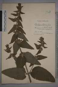 Stachys alpina herbarium specimen from Wotton-under-Edge, VC34 West Gloucestershire in 1916 by Mr James Walter White.