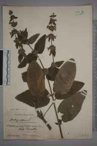 Stachys alpina herbarium specimen from Wotton-under-Edge, VC34 West Gloucestershire in 1907 by Mr James Walter White.