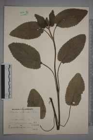 Stachys alpina herbarium specimen from Wotton-under-Edge, VC34 West Gloucestershire in 1935 by Mr Job Edward Lousley.