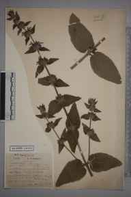 Stachys alpina herbarium specimen from Lindfield, VC14 East Sussex in 1878 by Mrs Constance L Wilde.