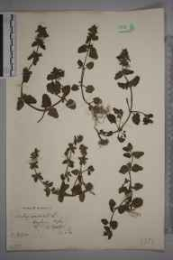 Stachys arvensis herbarium specimen from Hayburn Wyke, VC62 North-east Yorkshire in 1907 by Charles Baylis Green.