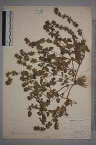 Stachys arvensis herbarium specimen from Par Sands, VC2 East Cornwall in 1901 by Mr Allan Octavian Hume.