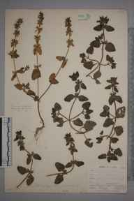 Stachys arvensis herbarium specimen from Perranwell Station, VC1 West Cornwall in 1899 by Mr Allan Octavian Hume.