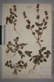 Stachys arvensis herbarium specimen from Par Sands, VC2 East Cornwall in 1900 by Mr Allan Octavian Hume.