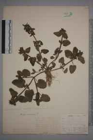 Stachys arvensis herbarium specimen from Padstow, VC1 West Cornwall in 1901 by Mr Allan Octavian Hume.