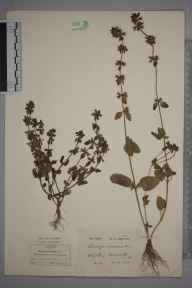 Stachys arvensis herbarium specimen from Wickham Bishops, VC19 North Essex in 1878 by Hugh Neville Dixon.