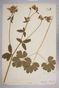 Aquilegia vulgaris herbarium specimen from Ponsanooth, VC1 West Cornwall in 1900 by Mr Frederick Hamilton Davey.