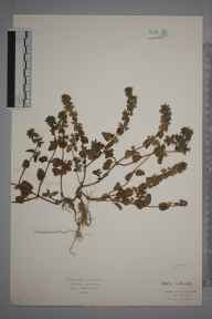 Stachys arvensis herbarium specimen from Kimmeridge, VC9 Dorset in 1902 by Rev. Edward Francis Linton.