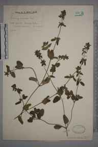 Stachys arvensis herbarium specimen from Walton Common, VC17 Surrey in 1930 by Mr Edward Charles Wallace.