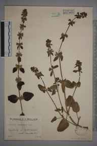 Stachys arvensis herbarium specimen from North Chapel, VC13 West Sussex in 1934 by Mr Edward Charles Wallace.