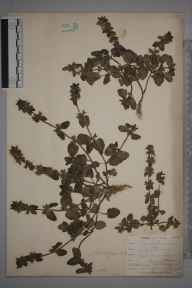 Stachys arvensis herbarium specimen from Par Harbour, VC2 East Cornwall in 1901 by Mr Allan Octavian Hume.