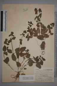 Stachys arvensis herbarium specimen from Worthing, VC13 West Sussex in 1907 by Charles Smith Nicholson.