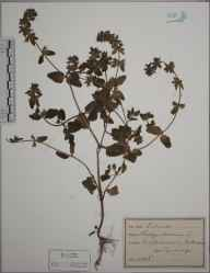 Stachys arvensis herbarium specimen from Minehead, VC5 South Somerset in 1890.