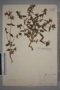 Stachys annua herbarium specimen from Leith Docks, VC83 Midlothian in 1908 by James Fraser.