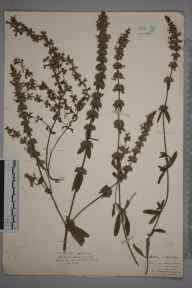 Stachys annua herbarium specimen from Cardiff, VC41 Glamorganshire in 1925 by Royston Leslie Smith.