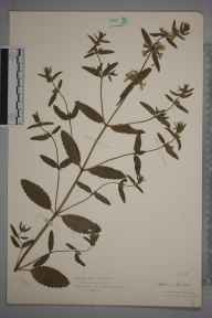 Stachys annua herbarium specimen from Llanbadarn, VC46 Cardiganshire in 1931 by Royston Leslie Smith.