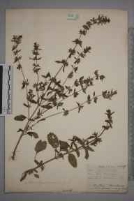 Stachys annua herbarium specimen from Leith Docks, VC83 Midlothian in 1906 by James Fraser.