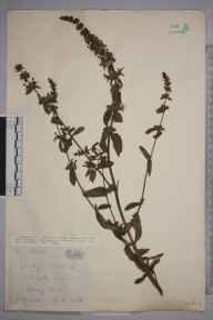 Stachys  herbarium specimen from Barry, VC41 Glamorganshire in 1923 by Royston Leslie Smith.