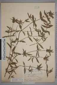 Galeopsis ladanum herbarium specimen from Eastbourne, VC14 East Sussex in 1906 by Charles Smith Nicholson.