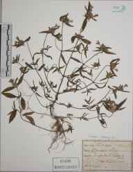 Galeopsis ladanum herbarium specimen from Seaford, VC14 East Sussex in 1893.