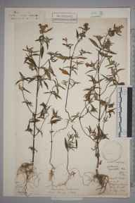 Galeopsis angustifolia herbarium specimen from Brighton, Sussex in 1889.