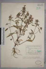 Galeopsis angustifolia herbarium specimen from Stow Wood, VC23 Oxfordshire in 1929 by Mr George Claridge Druce.
