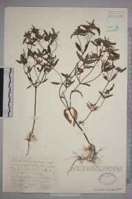 Galeopsis angustifolia herbarium specimen from Hitchin,Wilbury Hill, VC20 Hertfordshire in 1928 by Mr Joseph Edward Little.