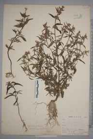 Galeopsis angustifolia herbarium specimen from Downe, VC16 West Kent in 1900 by William Henry Griffin.