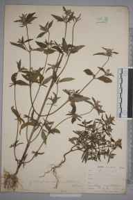 Galeopsis angustifolia herbarium specimen from Tatsfield, VC17 Surrey in 1900 by William Henry Griffin.