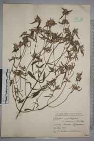Galeopsis angustifolia herbarium specimen from Horsley, VC17 Surrey in 1925 by William Robert Sherrin.