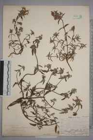 Galeopsis angustifolia herbarium specimen from Eastbourne, VC14 East Sussex in 1907 by Mr Allan Octavian Hume.